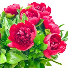 Bouquet Peonia Burgundy