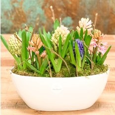 Hyacinths for Easter or Spring | Same Day Ddelivery Plants to Milan, Moza, Como