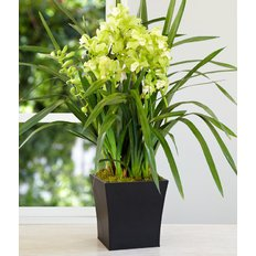 Cymbidium Orchid White Green