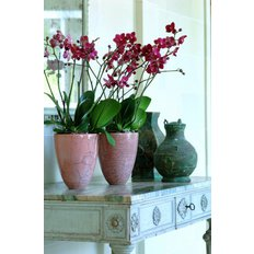Phalaenopsis Orchid Double Pink | Plants Delivery | Milan Local Florits