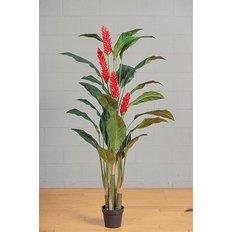 Ginger Plant, 170CM, Red