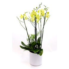 Light Green Orchidee