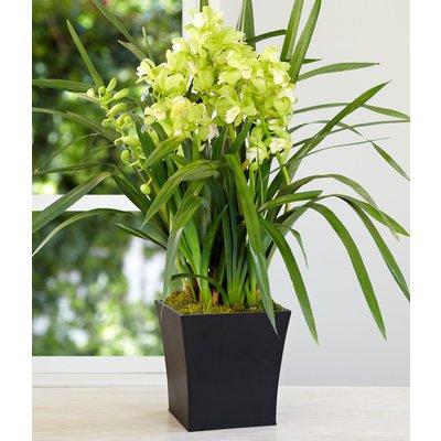 Pianta di Orchidea Cymbidium